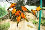 Sun conure parrots in aviary poster