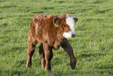 Brown calf walk on green meadow. It is crossbreed of hereford and Highland cattle. It growing in free range organic farm.