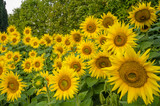 Sunflowers bloom in Jardin des Plantes, the main botanical garden in France, founded in 1625. - 91860749