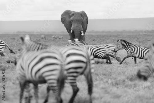 meski-slon-zebry-ucieka-