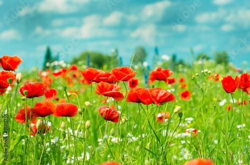 Fototapeta Field of bright red corn poppy flowers in summer