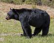 American Black Bear - male