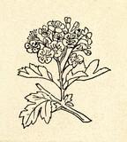 Midland hawthorn (Crataegus laevigata) poster