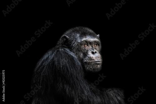 Poster Chimp