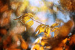Magical rainy autumn beech tree branch with colorful autumn leaves at sunny light. Rainy and sunny autumn season leaves background. Selective focus used.