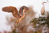 Adea cinerea, Heron