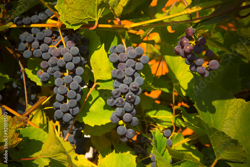 Obraz na Szkle Vineyards at sunset in autumn harvest. Ripe grapes in fall. Sele