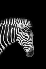 Zebra © funkyfrogstock