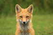 Red Fox Kit Head Portrait, PEI, Canada