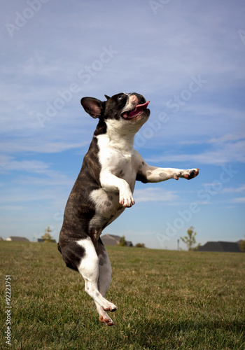 Fotobehang Franse bulldog Leaping silly French bulldog looking right in mid air