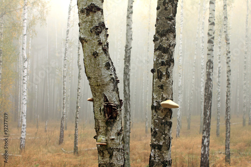 Grove of birch trees and dry grass in early autumn © juliasv
