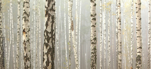 Grove of birch trees and dry grass in early autumn, fall panorama © juliasv