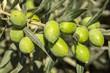 Zeytin Ağacı - 92316113