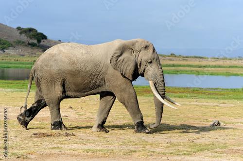 Fototapeta Elephant