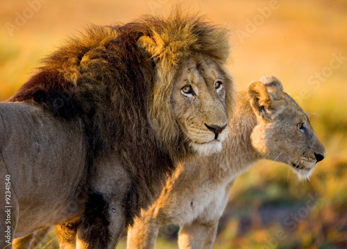 Lion and lioness in the savannah. Zambia. Poster