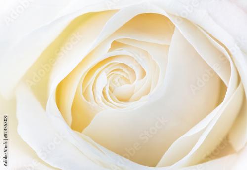Fototapeta beautiful white rose