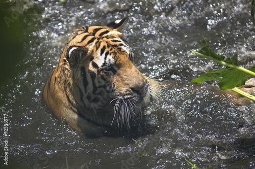Foto op Plexiglas Krokodil Portrait of male wild tiger playing in the water