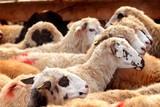Hayvancılık ve Kurban Bayramı