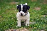 Cucciolo jack russell terrier