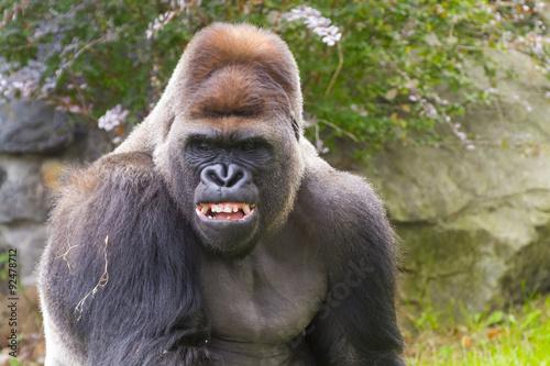 Poster Western Gorilla (Gorilla gorilla)
