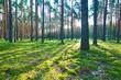 Obrazy na płótnie, fototapety, zdjęcia, fotoobrazy drukowane : Sunrise in pine forest