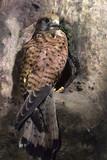 Gheppio femmina, Falco tinnunculus, Falconiformi, Falconidi, Animali, Uccelli predatori sul nido in cavità parco regionale sassi di rocca malatina modena emilia romagna poster