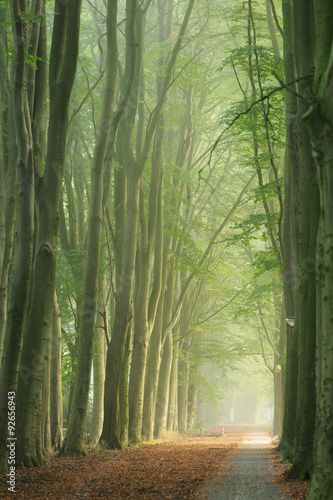 Fotobehang Bos in mist Lane of trees during a foggy morning in early autumn.