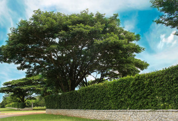 Grown tree with brick wall and ornamental shrub