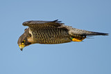 Peregrine Falcon in Flight Hunting