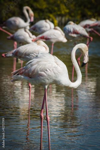 Foto op Aluminium Flamingo Pink Flamingo (Phoenicopterus ruber) in Camargue, France
