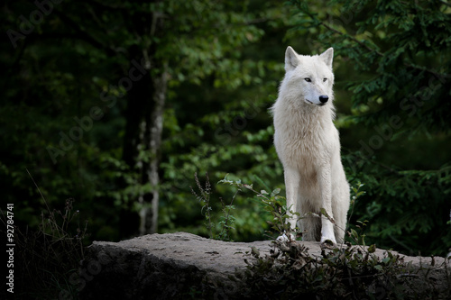Poster loup blanc arctique animal mammifère