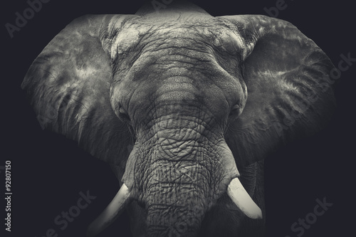 Elephant close up. Monochrome portrait