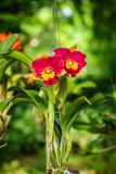 BLC. Rungnapa Fancy No. 1 Cattleya flower. The hybrid orchid is a cross between BLC. Yen Twentyfour Carat x LC. Mari's Song. poster