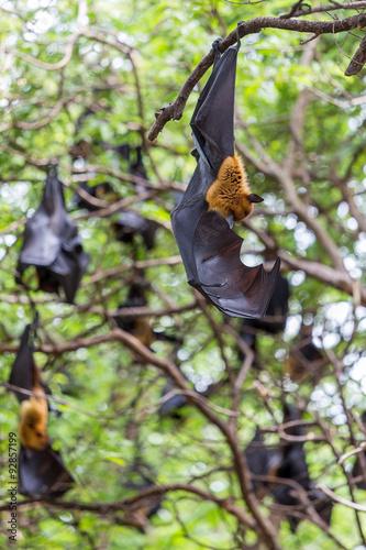Staande foto Kip Flying foxes hanging on trees.
