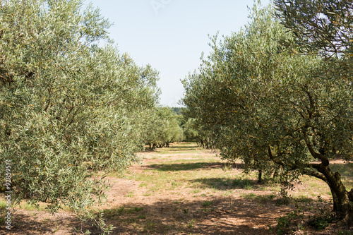 Tuinposter Olijfboom Olive grove in sunny southern Europe