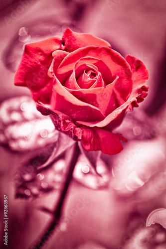 czerwona-roza-jako-naturalne-walentynki-i-wakacje-z-powrotem