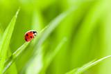 Fototapety Ladybug on Grass Over Green Bachground