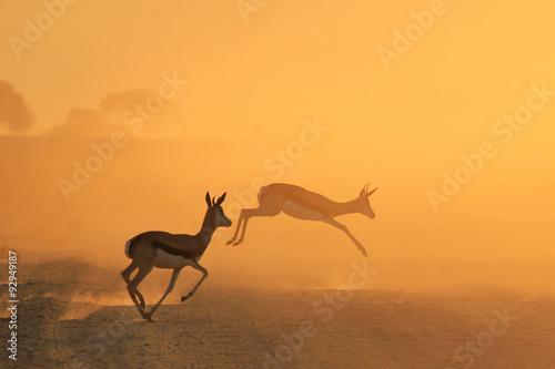 obraz PCV Springbok Antelope - Golden Sunset Wildlife Silhouettes