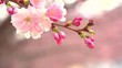 Sakura spring flowers. Spring blossom background. Beautiful nature scene