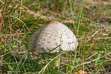 fungo di montagna