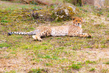 Beautiful Cheetah , Acinonyx jubatus