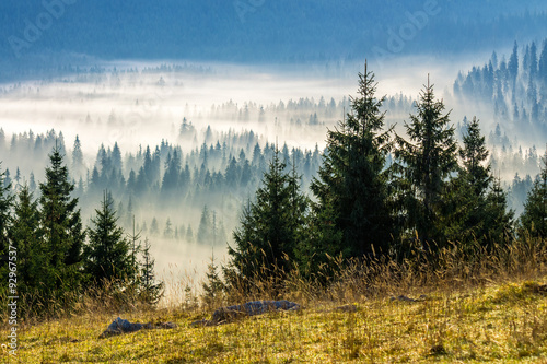coniferous forest in foggy Romanian mountains - 92967537