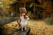 Dog breed Nova Scotia Duck Tolling Retriever and Jack Russell Terrier walking in autumn park