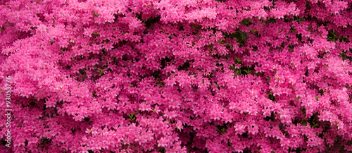 Aluminium Azalea Panorama of Pink Azaleas in Bloom