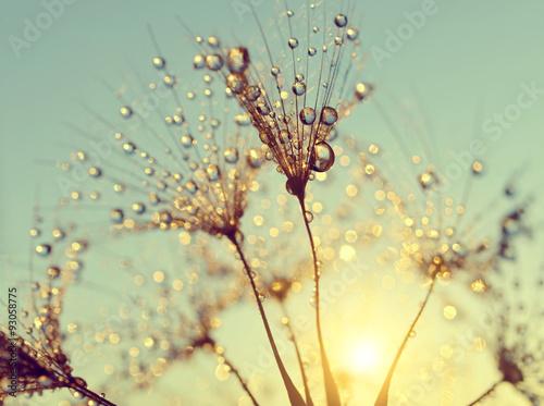 Dewy dandelion flower at sunset close up
