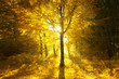 Постер, плакат: Magical sunny light in golden color autumn season forest landscape Beautiful sunny bright forest tree with gold colored leaves