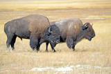 Bison or American buffalo, one of America's largest mammals