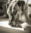 Melancholy great Dane looking wistful in black and white