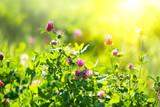 Meadow. Clover flowers growing on spring field