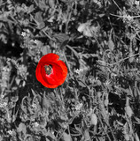 coquelicot rouge - 93140918